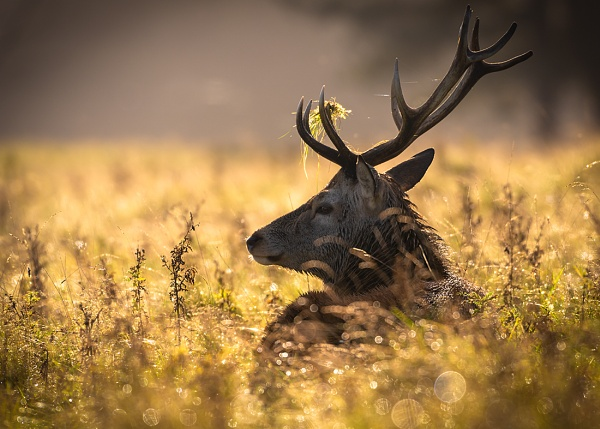 Stag in the Grass by BydoR9
