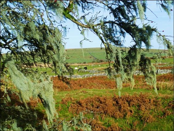 Bodmin Moor - The lichen tree by JuBarney