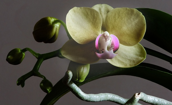 The Orchid by johnjrp