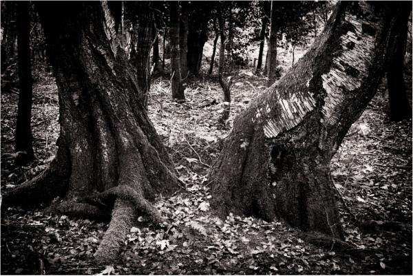 Tree Trunks by dark_lord