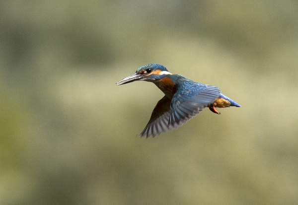 Kingfisher by ali63