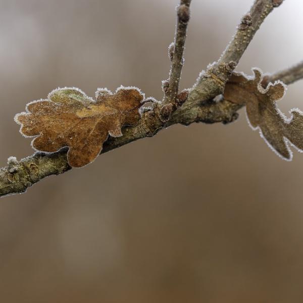 Frost on Oak by mommablue