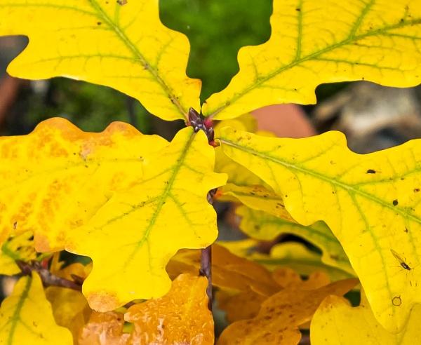 Autumnal Oak 2 by Nikonuser1