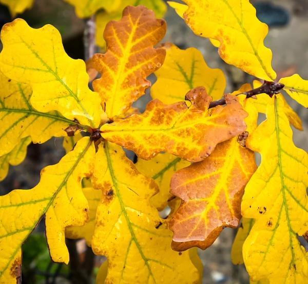 Autumnal Oak 5 by Nikonuser1