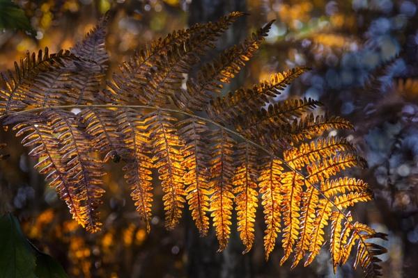 Golden Fern by ChristopherA