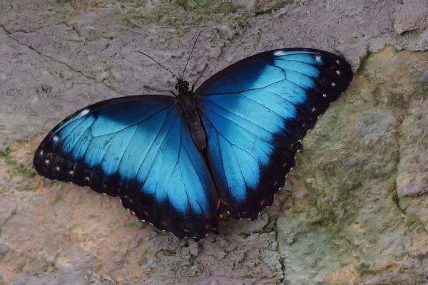 Blue Morpho by Steveo28