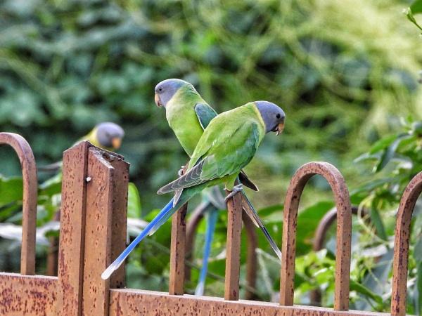 Parakeet by gautamc