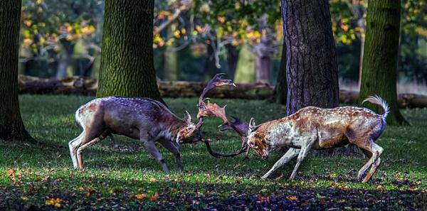 Fallow Bucks Clashing by TK