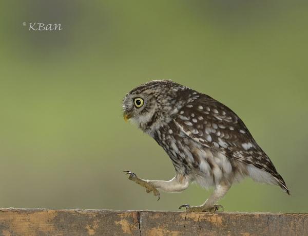 Wild Little Owl....................Walk on By by KBan