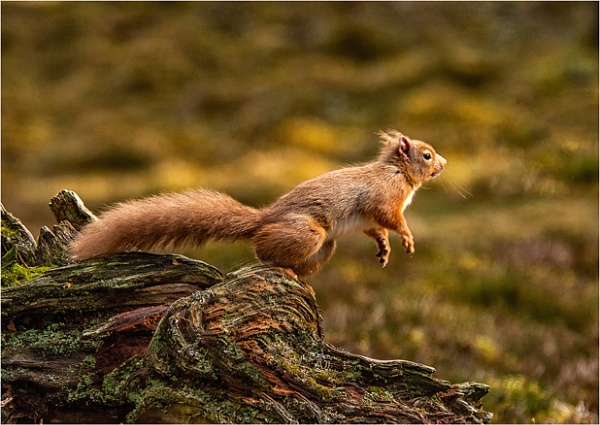 Red Squirrel by dven