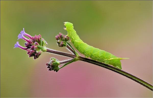Poplar Hawkmoth caterpillar. by bricurtis