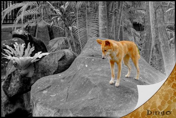 Dingo by Peco