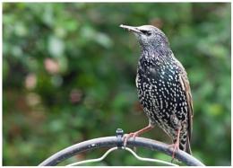 Garden visitor starling