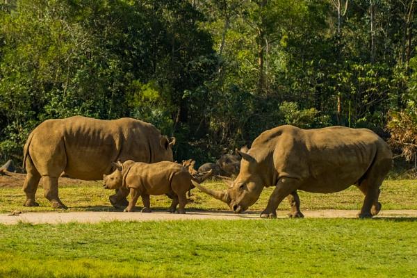 Rhinos by terra