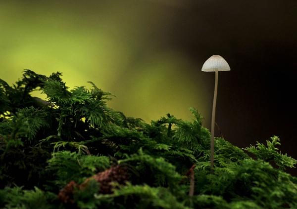Mycena Mushroom by viscostatic