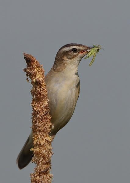 Sedge Warbler by NeilSchofield