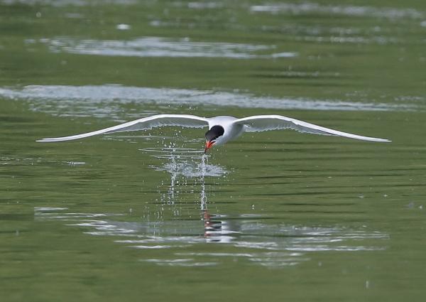 Terns in Flight by NeilSchofield