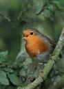 Robin by NeilSchofield