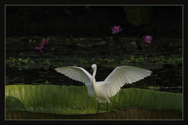Little Egret by prabhusinha