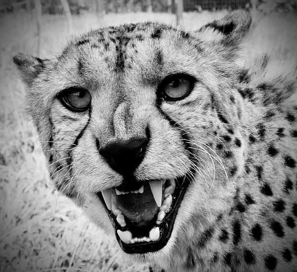 Cheetah by nclark