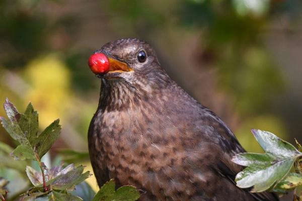 Blackbird eating berries.