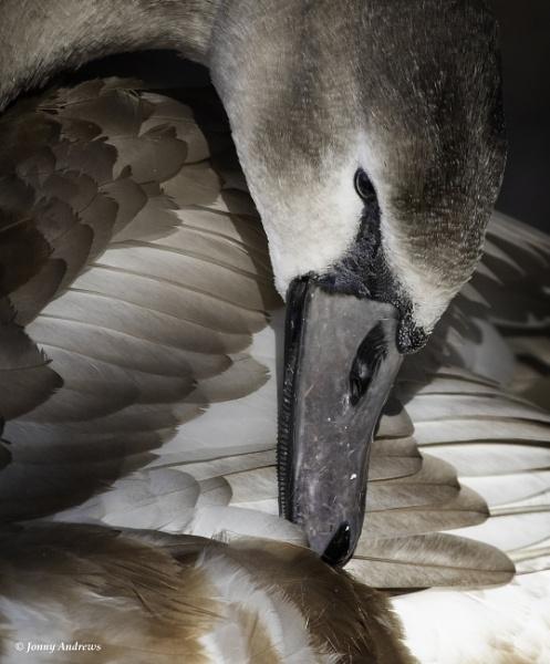 Mute Swan by JonnyNI