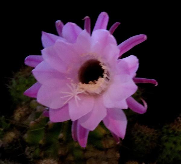 Cactus flower by Hermanus