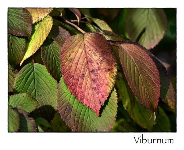 Viburnum by taggart