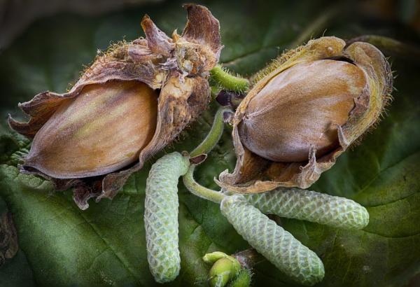 Hazelnuts by iangilmour