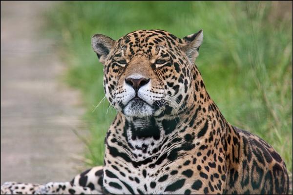 Jaguar by rickie