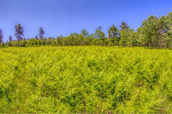 Field of Ferns by fotolooney
