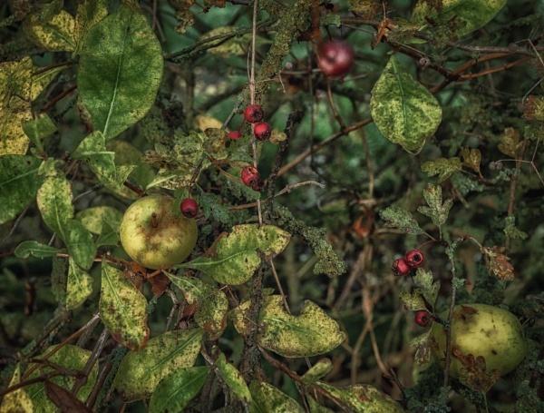 Fallen apples by BillRookery