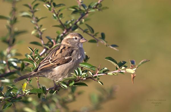 Sparrow by canoncarol
