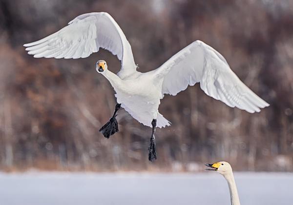 Whooper swans in Akan by hannukon