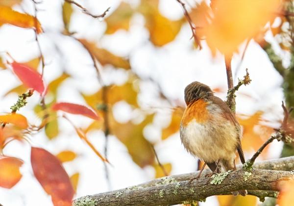 Robin in Perusmäki by hannukon
