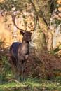 Melanistic Fallow Deer Buck (Dama dama) by DerekL