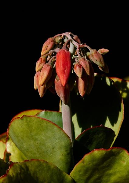 Round-leafed Navel Wort (Cotyledon orbiculata) by Pmitch