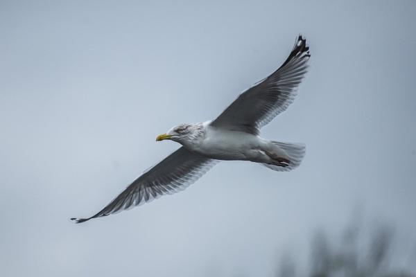 Gull Glide by chensuriashi