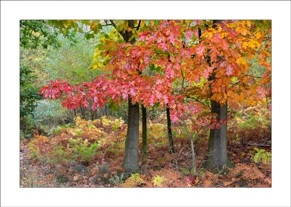 Red Oak by Steve-T