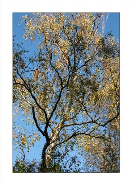 Golden Birch by Steve-T