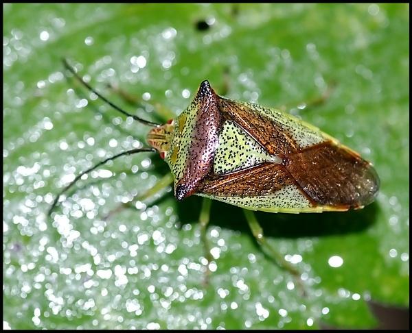 Hawthorn Shield Bug.. by Badgerfred