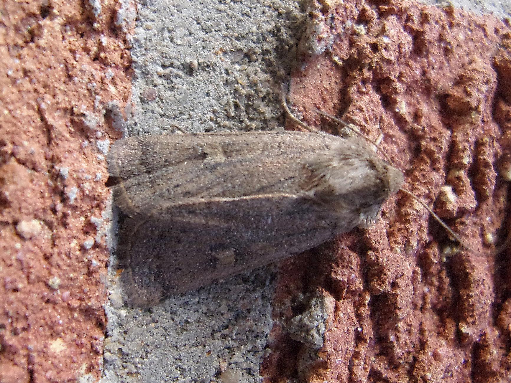Common Rustic Moth