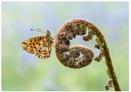 Pearl Bordered Fritillary by NigelKiteley
