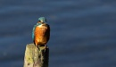 Juvenile Kingfisher by Len1950