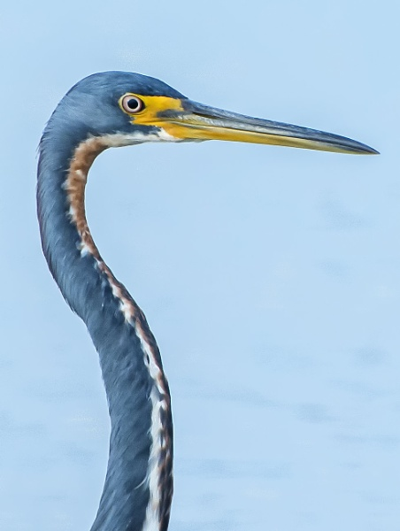 Portrait of a blue heron by jbsaladino