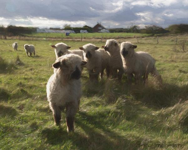 Lambs by Alan_Baseley
