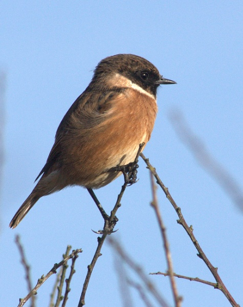 Stonechat by Priestcove