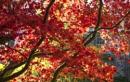 Cluny Gardens -Acer by Irishkate
