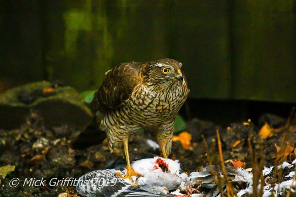 Sparrowhawk by Bazzaspal