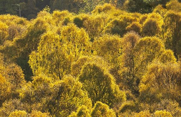 Golden birch by Dallachy